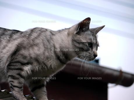 屋根の上の猫の素材 [FYI00087222]