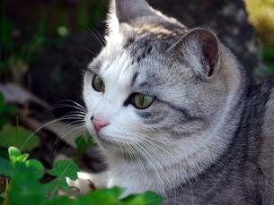 猫の顔アップの素材 [FYI00087229]