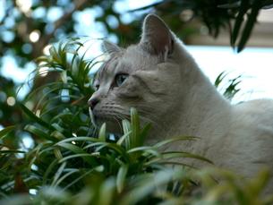 木の隙間から見つめる猫の素材 [FYI00087238]