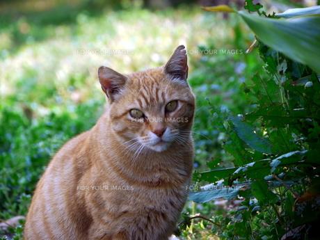 見つめる猫の素材 [FYI00087254]