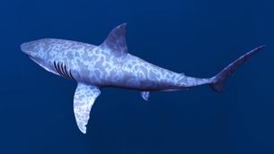 サメの素材 [FYI00087753]