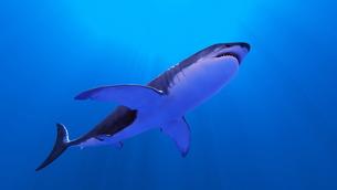 サメの素材 [FYI00087769]