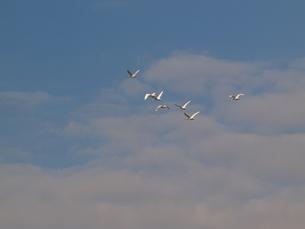 飛ぶコハクチョウの群れの写真素材 [FYI00088348]