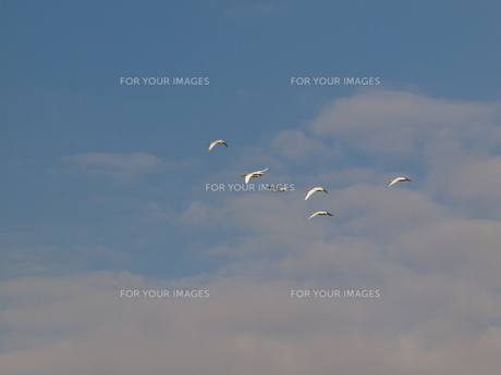 飛ぶコハクチョウの群れの写真素材 [FYI00088349]