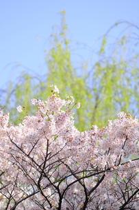 桜と緑の写真素材 [FYI00088397]