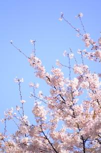 桜と青空の写真素材 [FYI00088416]