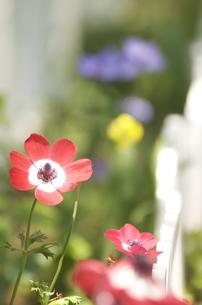 アネモネの花の写真素材 [FYI00088445]