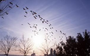 鳥の群れの写真素材 [FYI00088466]