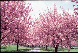 ニューヨーク植物園の桜の写真素材 [FYI00088493]