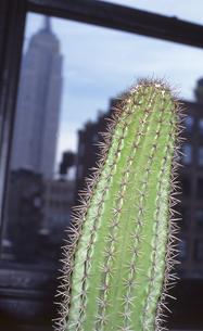 エンパイアステートビルを見つめるサボテンの写真素材 [FYI00088494]