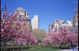 バッテリーパークの桜とワールドトレードセンターの写真素材 [FYI00088497]