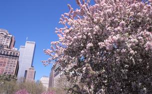 桜とワールドトレードセンターの写真素材 [FYI00088533]