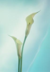 カラー(花)の写真素材 [FYI00088967]