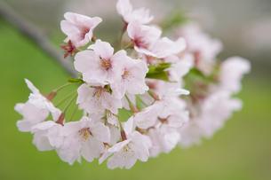 桜の花の写真素材 [FYI00088974]