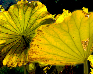 フォトイラスト 蓮の葉の写真素材 [FYI00089112]
