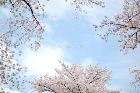SAKURA2011の写真素材 [FYI00089124]