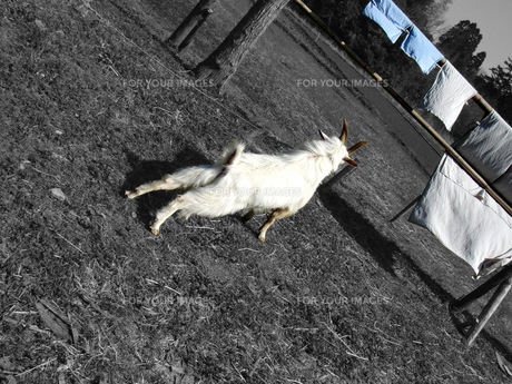 ヤギの選択の写真素材 [FYI00089318]