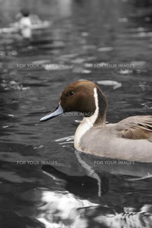 渡り鳥の写真素材 [FYI00089326]