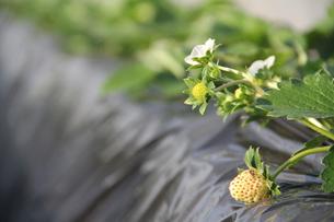 イチゴと花の写真素材 [FYI00089328]