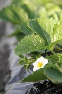 イチゴの花の写真素材 [FYI00089356]
