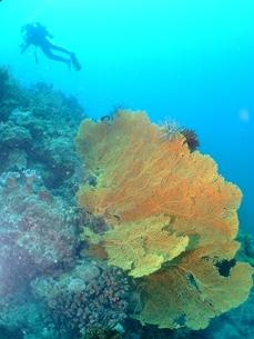サンゴとダイバーの写真素材 [FYI00089411]