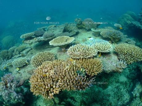 サンゴの写真素材 [FYI00089413]