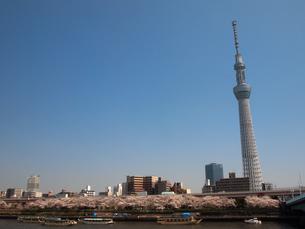 スカイツリーと桜の写真素材 [FYI00089431]
