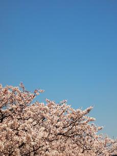 桜と青空の写真素材 [FYI00089433]