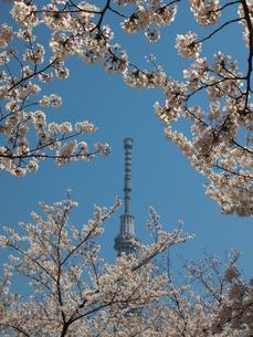 スカイツリーと桜の写真素材 [FYI00089434]