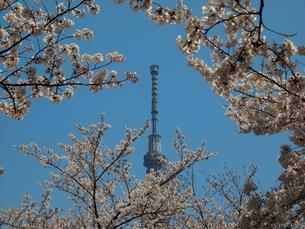 スカイツリーと桜の写真素材 [FYI00089442]