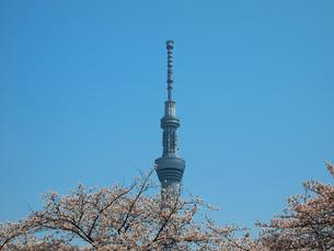 スカイツリーと桜の写真素材 [FYI00089448]