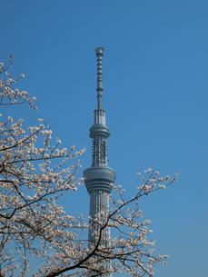 スカイツリーと桜の写真素材 [FYI00089449]