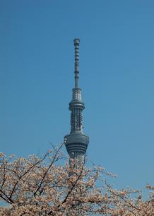 スカイツリーと桜の写真素材 [FYI00089454]