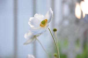 白い花の写真素材 [FYI00089554]