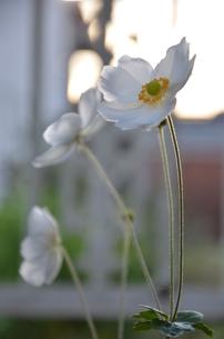 白い花の写真素材 [FYI00089572]