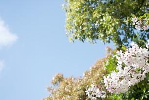 快晴の春/桜71の写真素材 [FYI00089685]