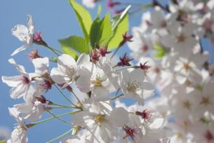 快晴の春/桜67の写真素材 [FYI00089686]