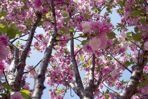 快晴の春/桜68の写真素材 [FYI00089696]