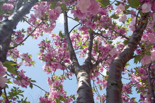 快晴の春/桜69の写真素材 [FYI00089702]