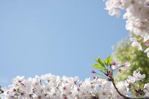 快晴の春/桜59の写真素材 [FYI00089704]