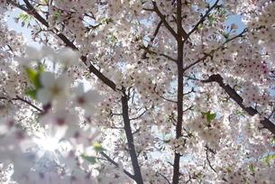 快晴の春/桜64の写真素材 [FYI00089705]