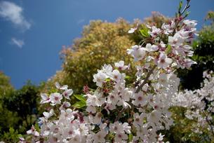快晴の春/桜66の写真素材 [FYI00089706]