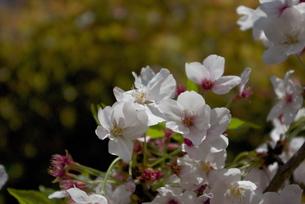 快晴の春/桜65の写真素材 [FYI00089707]