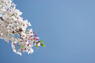 快晴の春/桜60の写真素材 [FYI00089710]