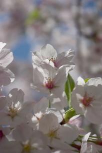 快晴の春/桜61の写真素材 [FYI00089711]
