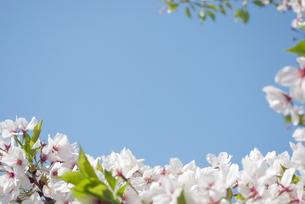 快晴の春/桜58-フレームの写真素材 [FYI00089714]