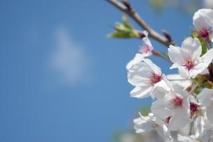 快晴の春/桜40の写真素材 [FYI00089718]