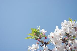 快晴の春/桜44の写真素材 [FYI00089722]
