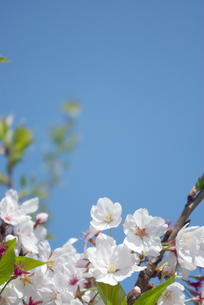快晴の春/桜36の写真素材 [FYI00089729]