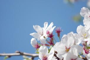 快晴の春/桜39の写真素材 [FYI00089730]